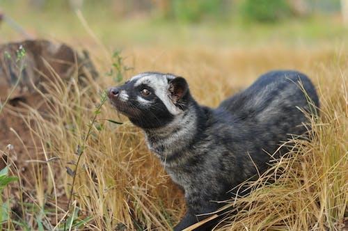 Black Meerkat