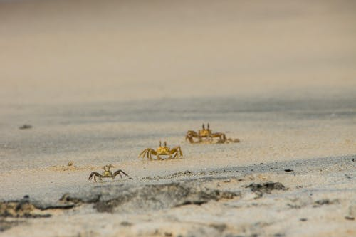 Free stock photo of alignment, beach, crab, crustacean