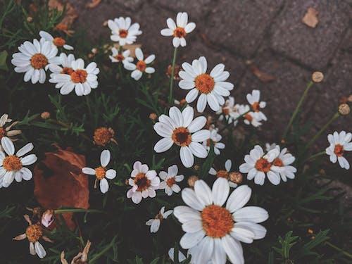 Kostnadsfri bild av anläggning, blommor, flora, kamomill