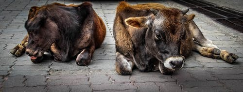 Gratis arkivbilde med dyreelsker, dyrefotografering, kalv, søte dyr