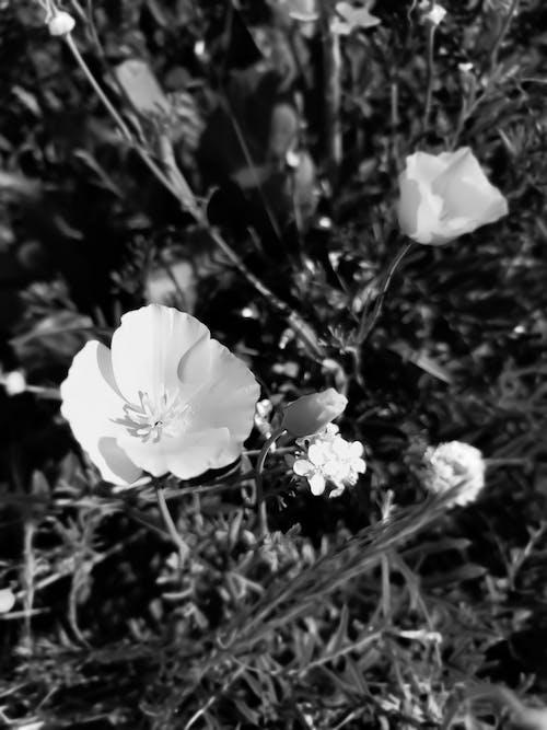 Δωρεάν στοκ φωτογραφιών με macro, ασπρόμαυρο, λευκός, λουλούδια