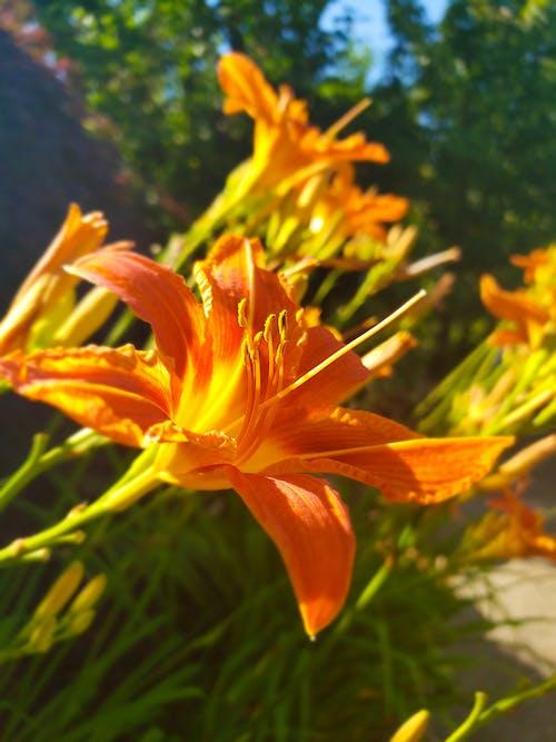 Δωρεάν στοκ φωτογραφιών με ανθίζω, λουλούδια, πορτοκάλι, φωτιά