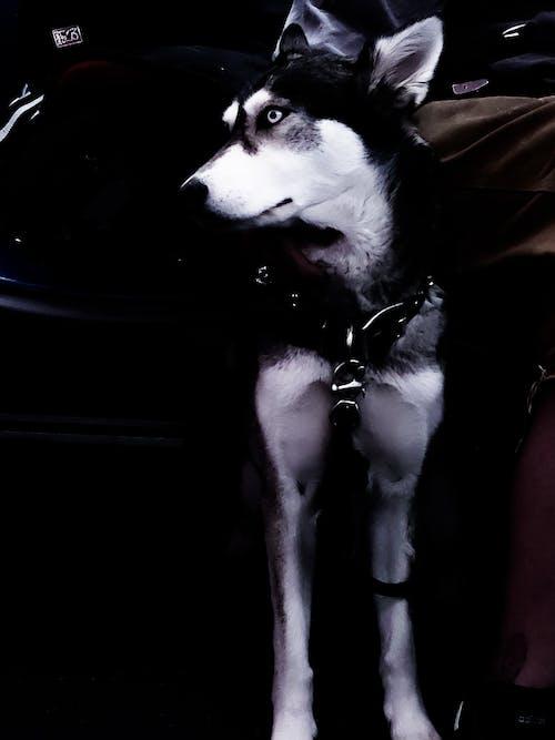 Δωρεάν στοκ φωτογραφιών με husky, κουτάβι, κυνικός, λύκος