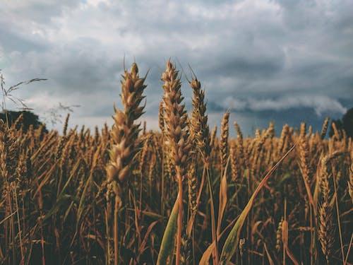 Gratis stockfoto met akkerland, boerderij, fabriek, gewas