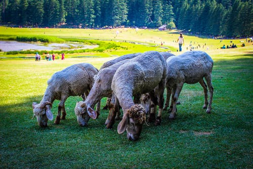 Herd Of Sheep Eating Grass During Day