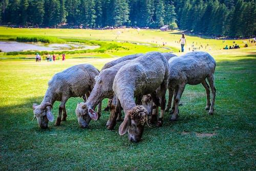 Безкоштовне стокове фото на тему «вівці, вівця, пасовище, поле»
