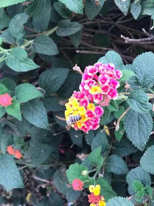 Immagine gratuita di ape, fauna selvatica, fiore, fioritura