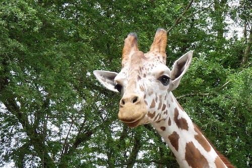 Kostnadsfri bild av giraff