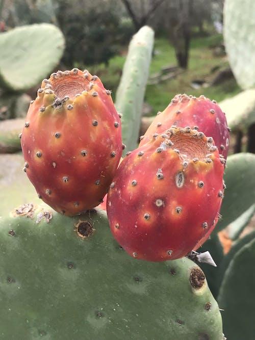 Immagine gratuita di arancia, botanica, botanico, cactus