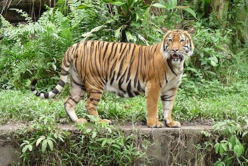 Kostnadsfri bild av tiger