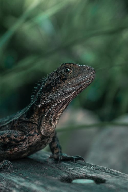 Focus Photography Of Brown Lizard