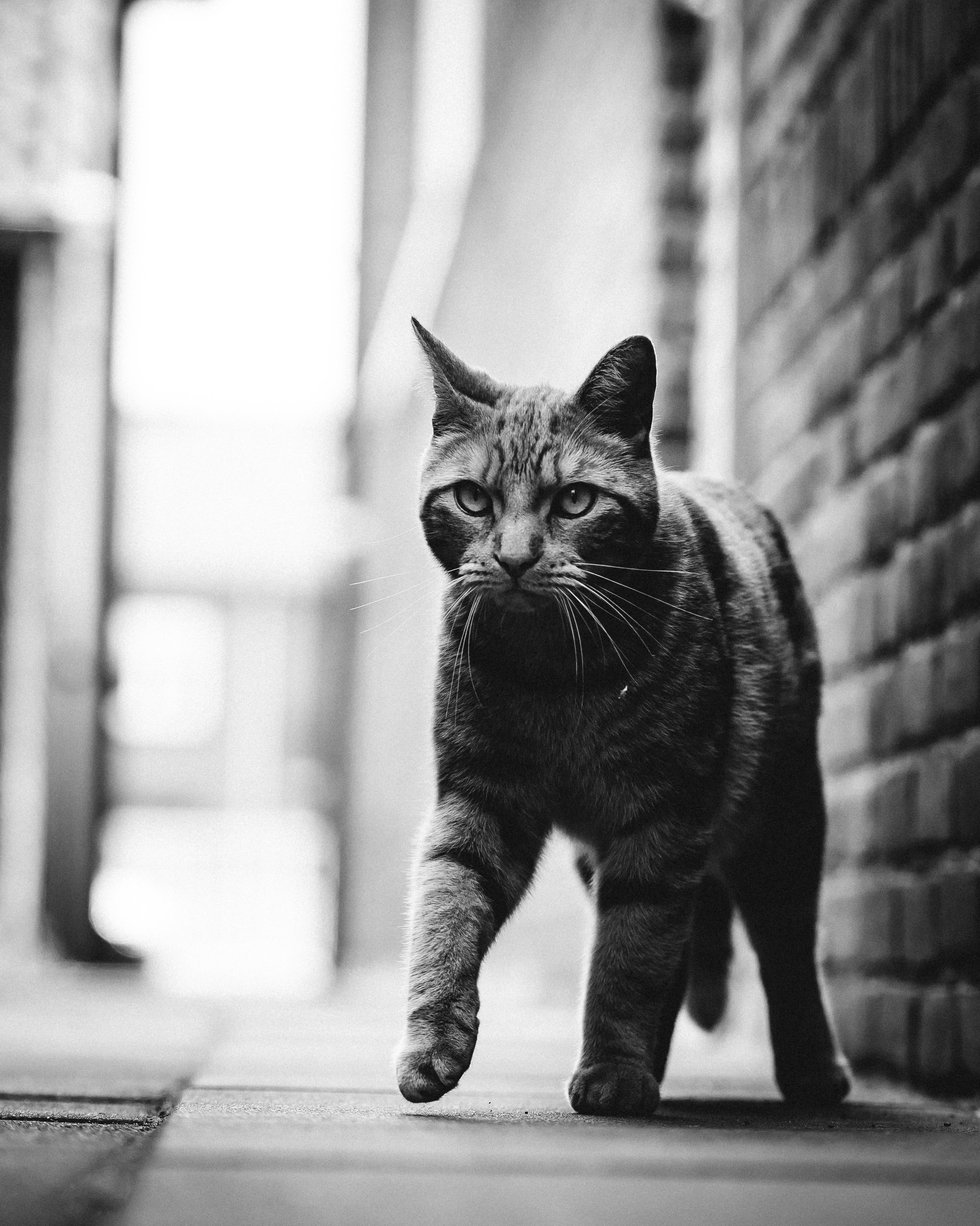 Monochrome Photo of Tabby Cat