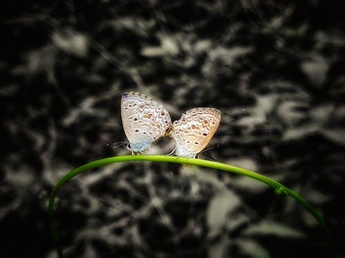 Gratis lagerfoto af sommerfugl kærlighed, sommerfugl parring, sommerfugl sex, sommerfugle