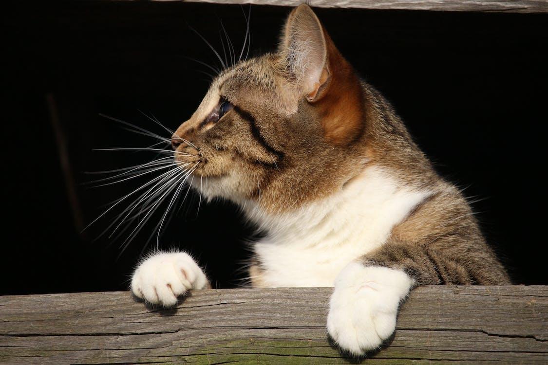 anak kucing, belum tua, berbulu