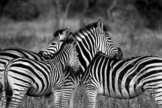 Zebras Zebra