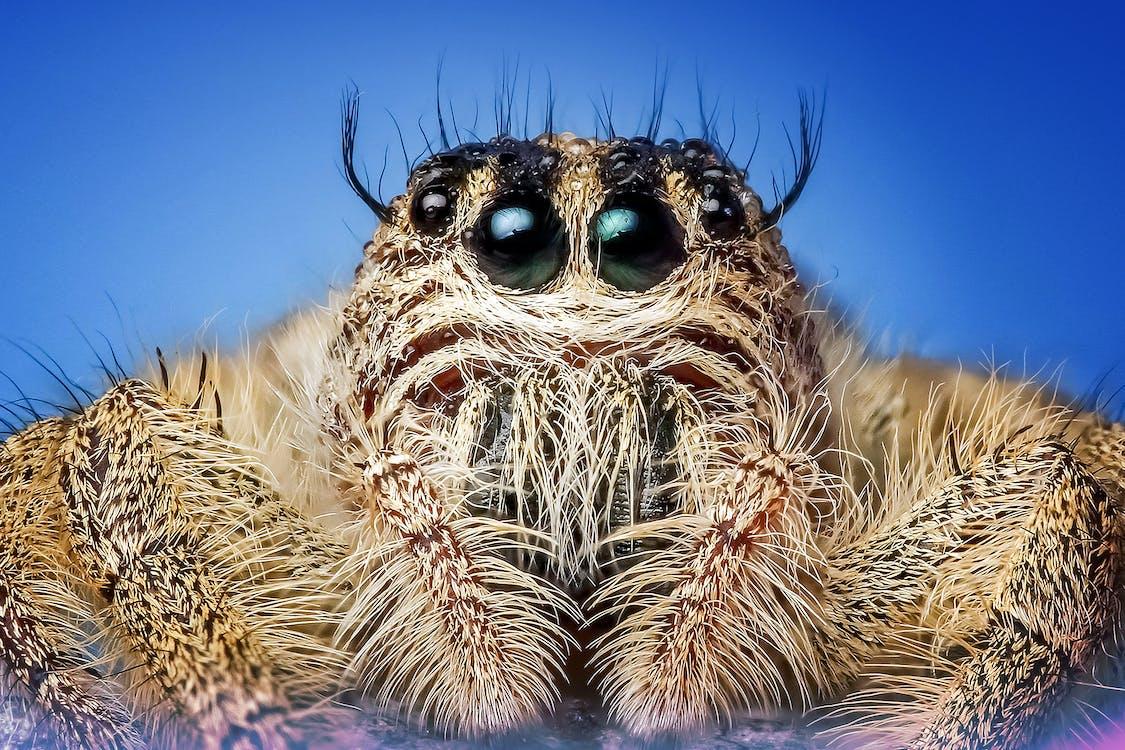 arachnide, araignée, chevelu