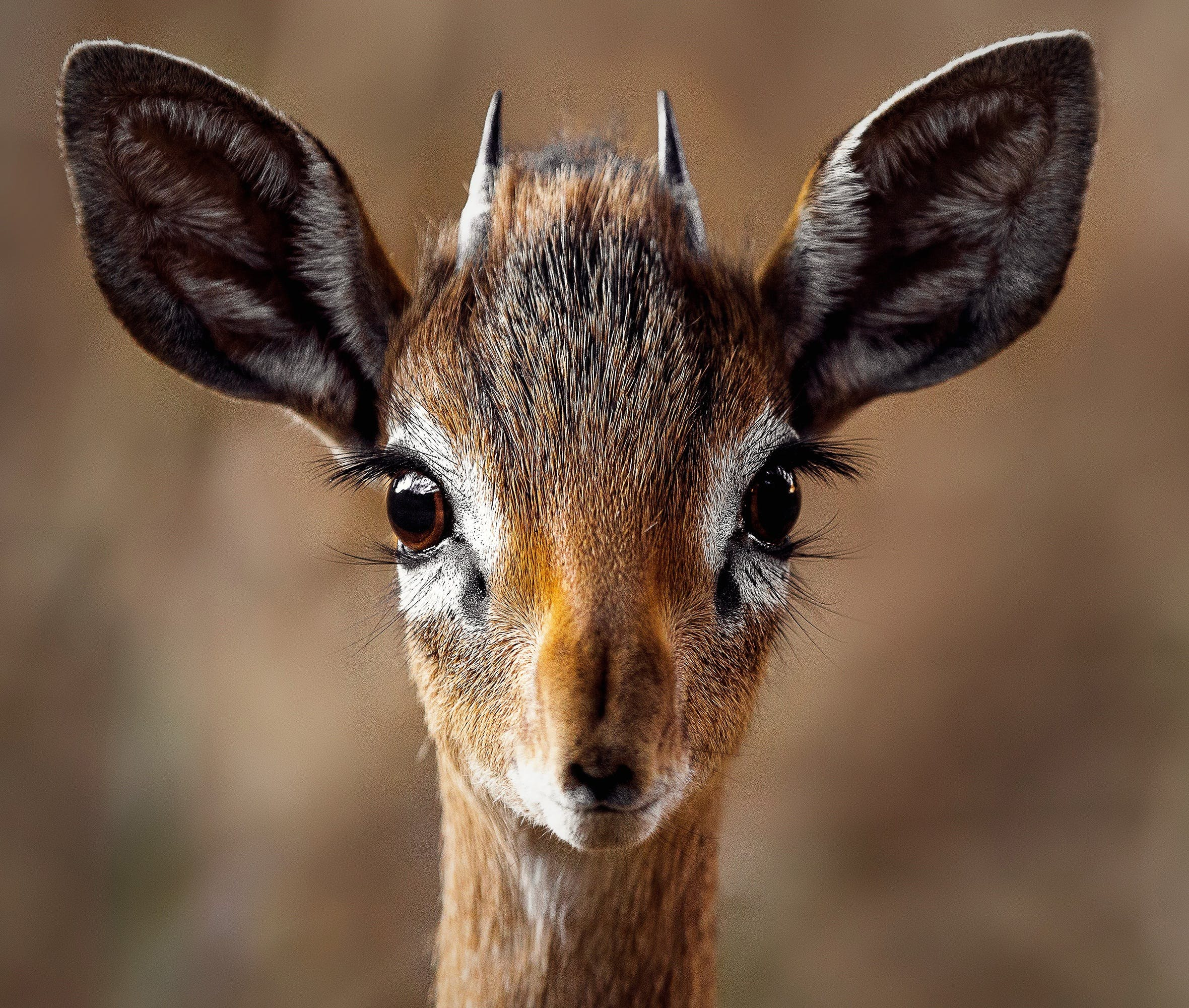 Close-up Portrait of a Antelope