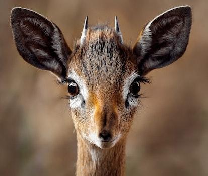 Close-up Portrait of a Antelope