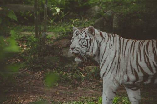 Základová fotografie zdarma na téma albín, divoká kočka, divoké zvíře, kočkovití