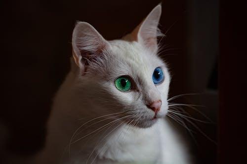Безкоштовне стокове фото на тему «білий кіт, великий план, Вибірковий фокус, домашня тварина»