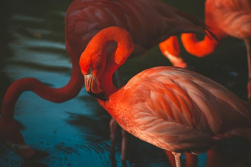 Close-up Photo of Pink Flamingos Standing in Water