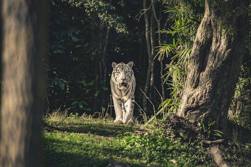 Immagine gratuita di animale, animale selvatico, fauna selvatica, felino