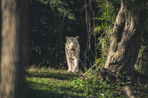 Foto d'estoc gratuïta de animal, animal salvatge, depredador, felí