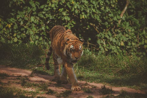 Photo of Tiger Walking Alone on Dirt Road