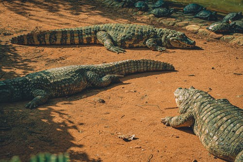 Photo Of Resting Crocodiles