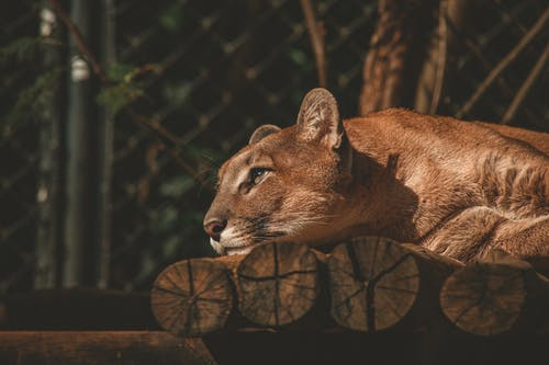 Cougar On Log