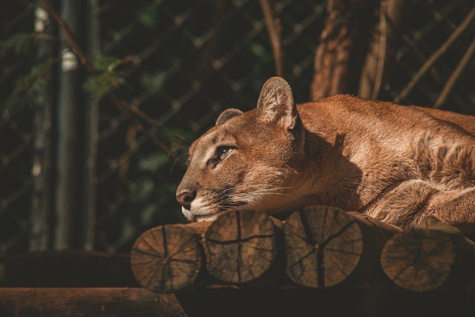 Cougar on log