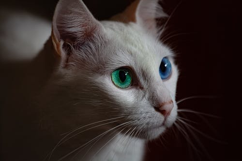 Selective Focus Close-up Photo of White Cat With Blue and Green Eyes