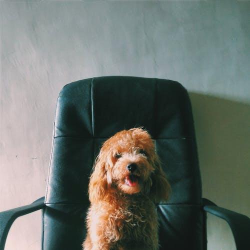 Foto stok gratis anjing pudel, atasan, bos