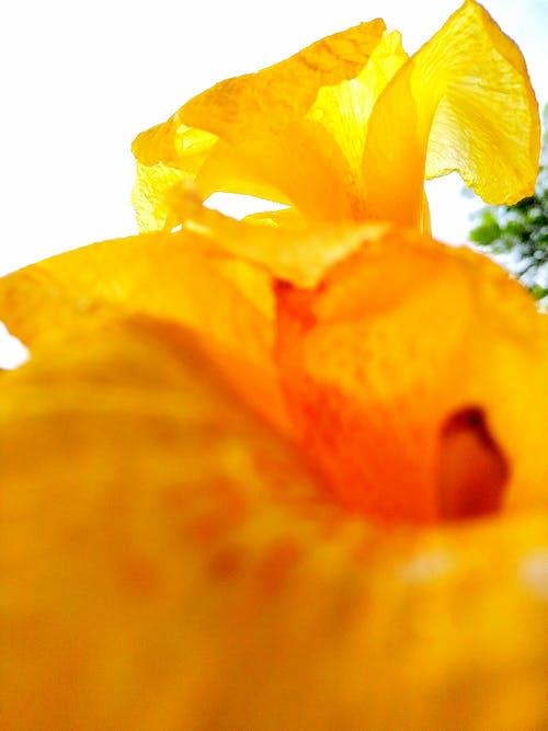 Foto d'estoc gratuïta de flors, gira-sol, groc, groc daurat
