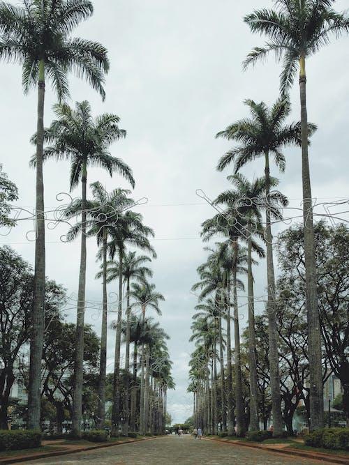 ココナッツの木, ヤシの木, 木, 見通しの無料の写真素材