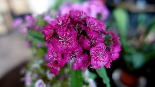 Gratis stockfoto met kamerplanten, roze, roze bloemen