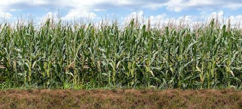 Gratis stockfoto met agbiopic, landbouw, maïs