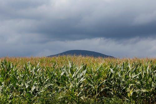 Fotobanka sbezplatnými fotkami na tému agbiopix, hory, kukurica, poľnohospodárstvo