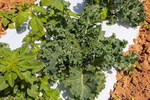 Fotobanka sbezplatnými fotkami na tému agbiopix, poľnohospodárstvo, superfood, zelenina