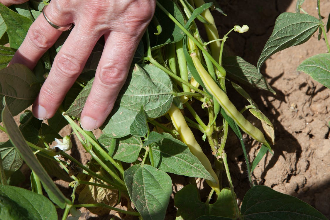 agbiopix, agricultura, feijão gorduroso