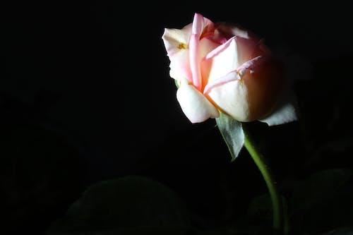 Fotobanka sbezplatnými fotkami na tému rose sun overpowered black background