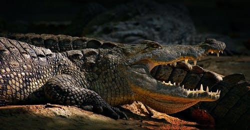 Crocodile On Focus Photography