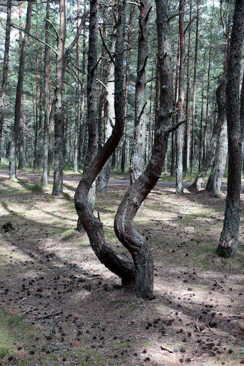 숲, 침엽수의 무료 스톡 사진