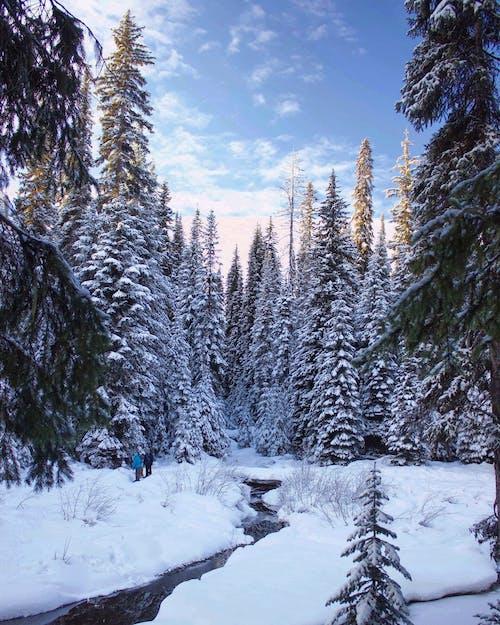 Gratis stockfoto met besneeuwd, bomen, Bos, bossen