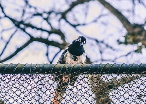 Δωρεάν στοκ φωτογραφιών με Βραζιλία, ζωικό βασίλειο, μαύρο πουλί, πάσσαρο