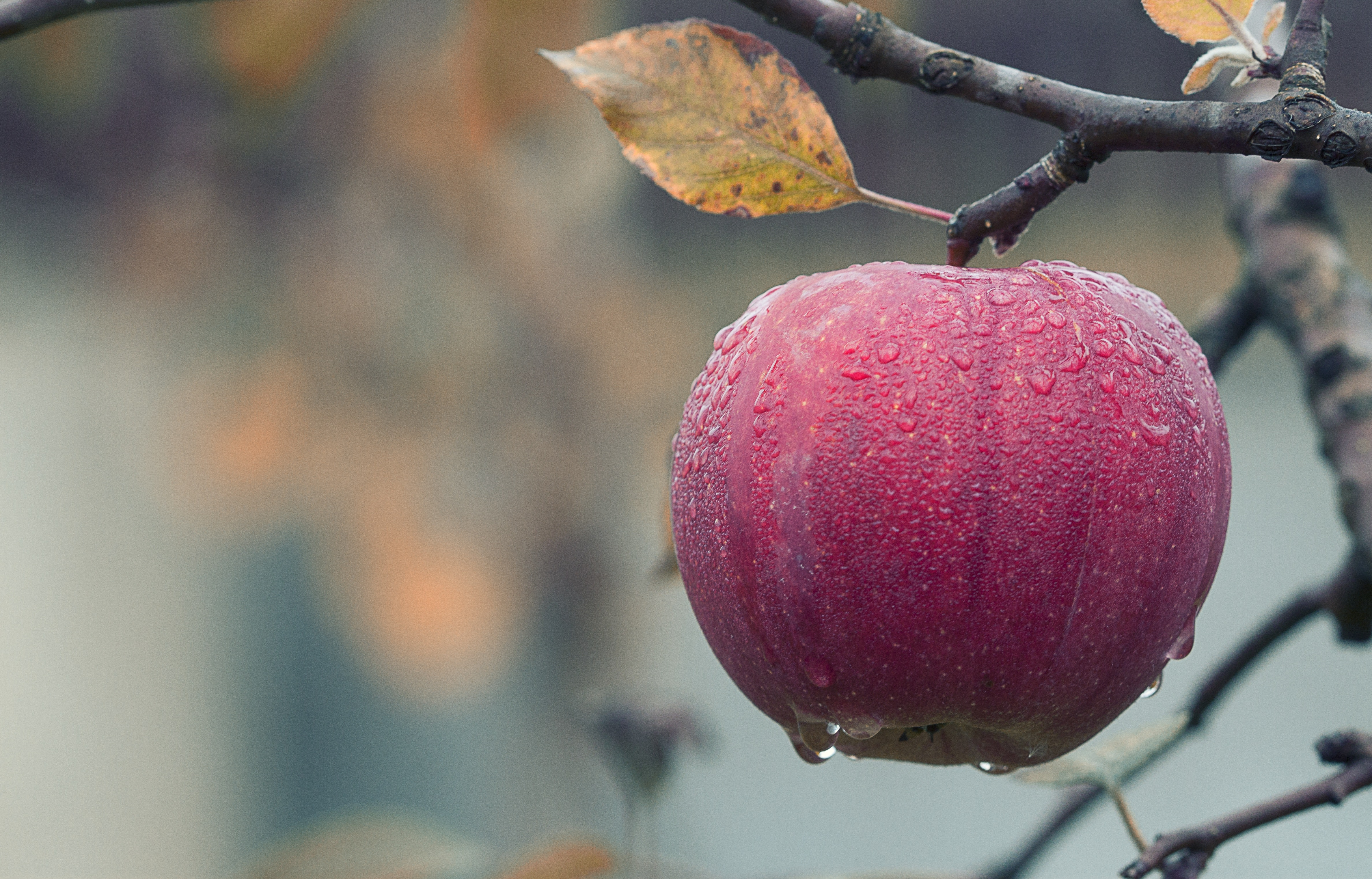 Close Up Of Fruits Hanging On Tree Free Stock Photo