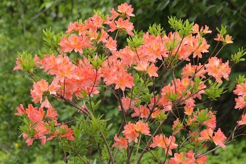 개화, 관목, 관상용 식물, 꽃이 만발한 관목의 무료 스톡 사진