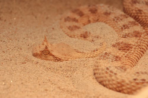 Gratis stockfoto met adder, beest, biologie, close-up
