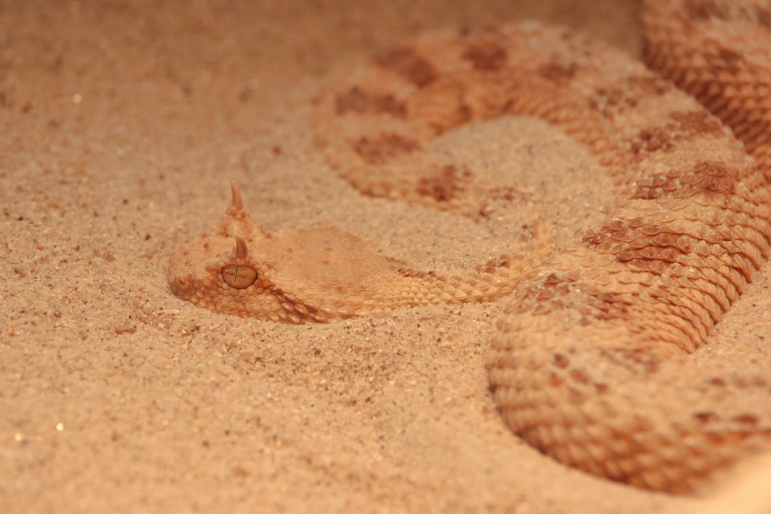 Close-Up Photo of a Brown Sidewinder Snake on Sand