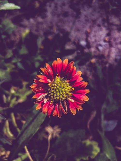 Gratis stockfoto met dierenfotografie, mooie bloem, oranje bloemen, rode bloem